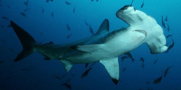 Акула-молот (Sphyrnidae) — Cамые большие акулы