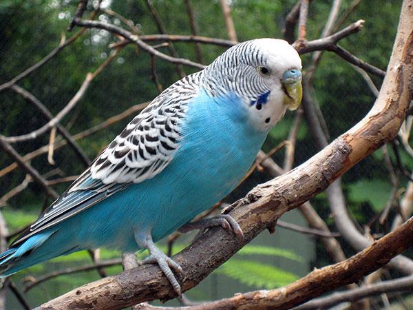 Австралия родина волнистых попугаев