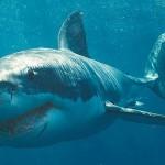 Большая белая акула ( Carcharodon carcharias)