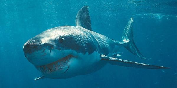 Большая белая акула ( Carcharodon carcharias) — Cамые большие акулы