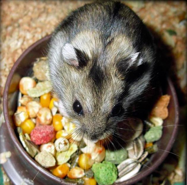 Лучшим рационом питания для джунгарских хомячков считаются готовые, покупные корма
