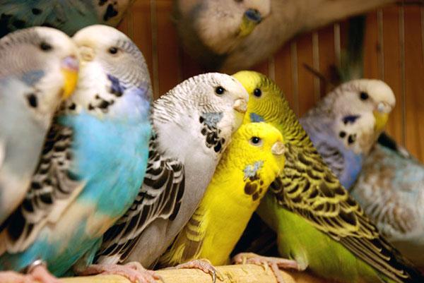 Покупать волнистого попугая лучше в юном возрасте, в таком случае ваш питомец быстрее к вам привыкнет
