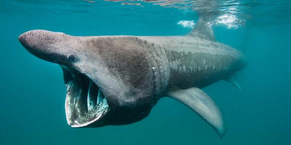 Гигантская акула («Cetorhinus Maximus») — Cамые большие акулы