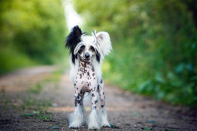 Существует множество видом окраска китайской хохлатой собаки