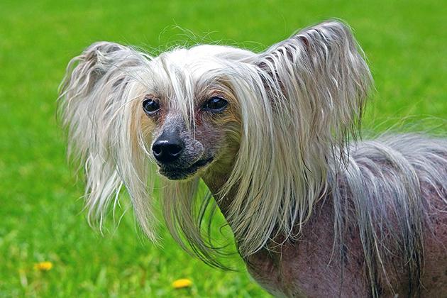 Голова у китайской хохлатой собаки изящная по форме, не тяжёлая