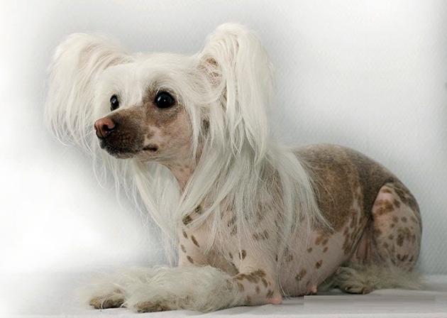 У китайской хохлатой собаки есть предрасположенность к некоторым заболеваниям, именно поэтому периодически необходимо показывать питомца врачам