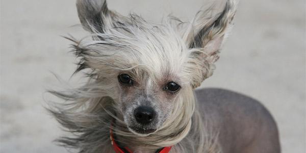 Породы собак: Китайская хохлатая