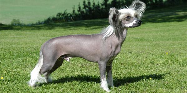 Породы собак: Китайская хохлатая — происхождение, уход, кормление