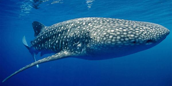 Китовая акула (Rhincodon typus) — Cамые большие акулы