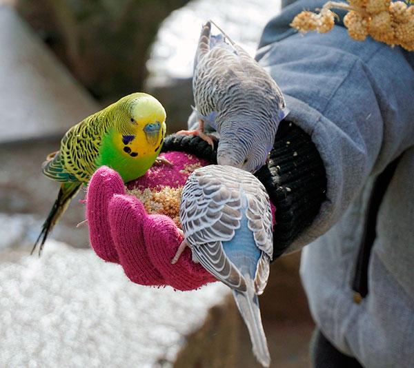 Самый лучший корм для волнистого попугая - готовые смеси, витамины давайте при линьках, болезнях и выкармливание птенчиков