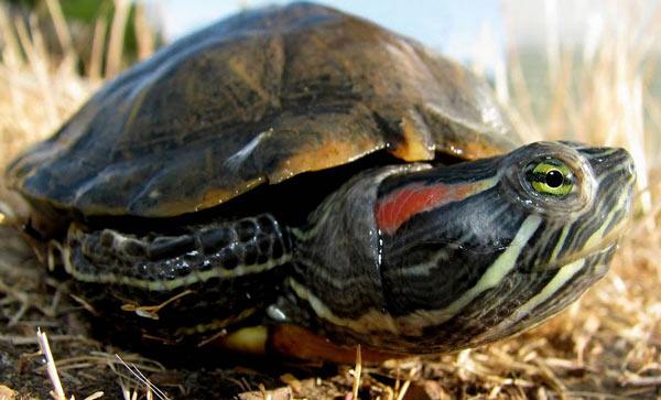 Красноухая черепаха - фото