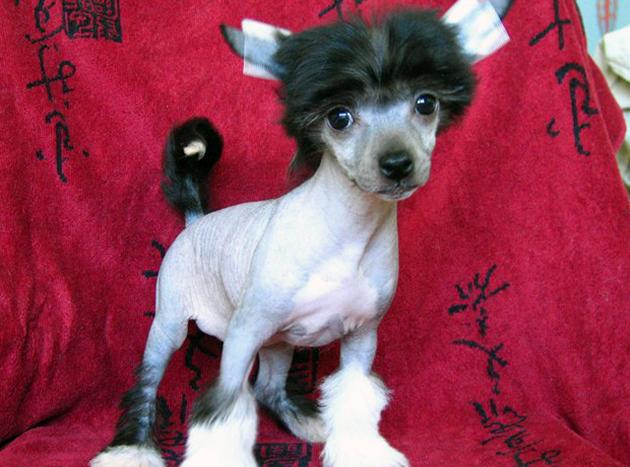 Цена щенка на китайскую хохлатую собаку начинается от 15-20 тысяч рублей