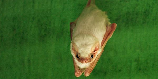 Летучая белая мышь