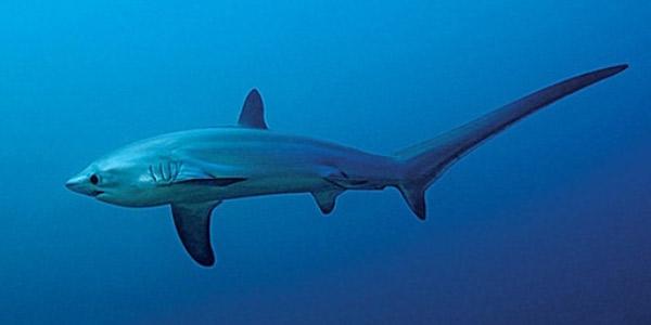 Лисья акула (Alopias vulpinus) — Cамые большие акулы