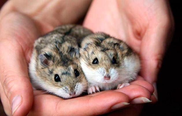 Джунгарские хомячки, как и другие не рекомендуется содержать в одной клетке