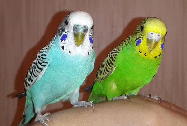 Волнистые попугаи в дикой природе могут дожить до 8 лет, в домашних условиях - могут дожить до 20