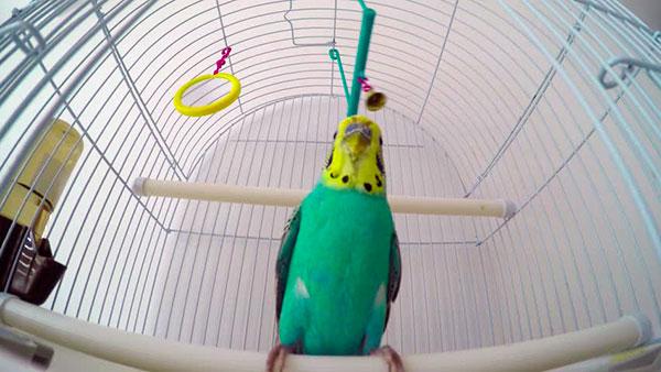 Клетку и аксессуары, которые вы купили для своего попугая необходимо обеззаразить - облить кипятком и протереть насухо