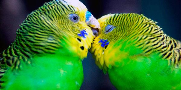Половое созревание у волнистых попугаев наступает в 1-1.5 года
