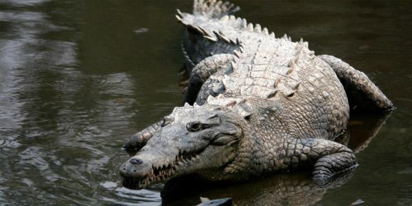 Острорылый американский крокодил (Crocodylus acutus)