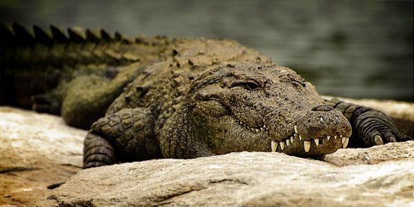 Болотный крокодил (Crocodylus palustris, Индийский)