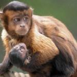 Обезьяна капуцин — популярная домашняя обезьянка