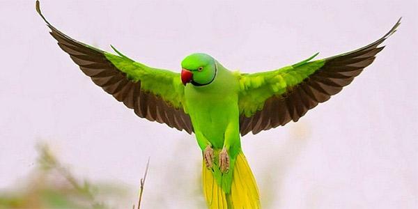 Кольчатые попугаи