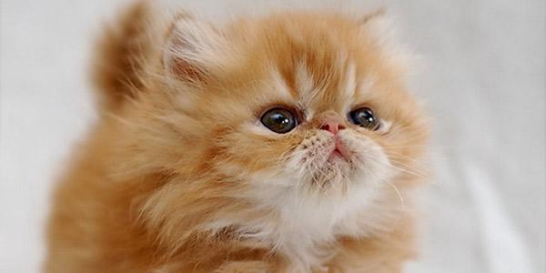 Породы кошек: Персидская — внешность, характер, содержание
