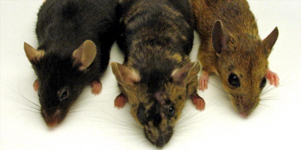 Декоративные мышки — покупка, уход и содержание
