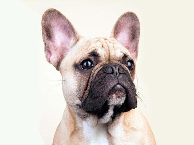Французские бульдоги склоны к ряду заболеваний, поэтому необходимо периодически проходить обследование у ветеринара