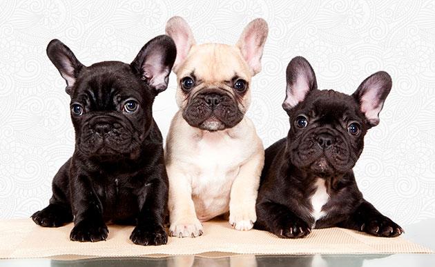 При покупке щенка французского бульдога учтите, что со временем цвет его шерсти будет светлеть
