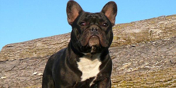 Породы собак: Французский бульдог