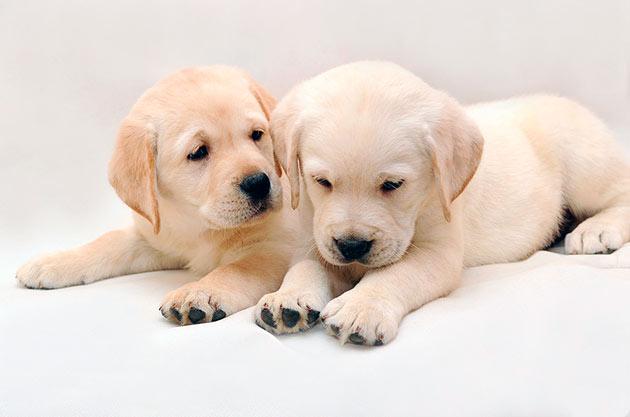 Лабрадоров, лучше всего, приобретать у официальных заводчиков или питомниках, это гарантирует, что щенок будет здоровый и активный