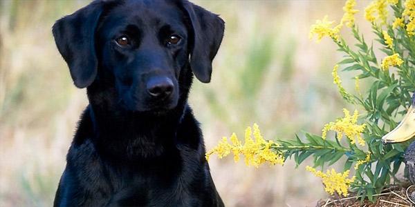 Породы собак: Лабрадор-ретривер — происхождение, характер и особенности содержания