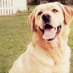 Породы собак: Лабрадор-ретривер