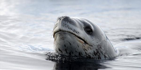 Морские леопарды — описание, питание, образ жизни