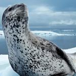 Морские леопарды