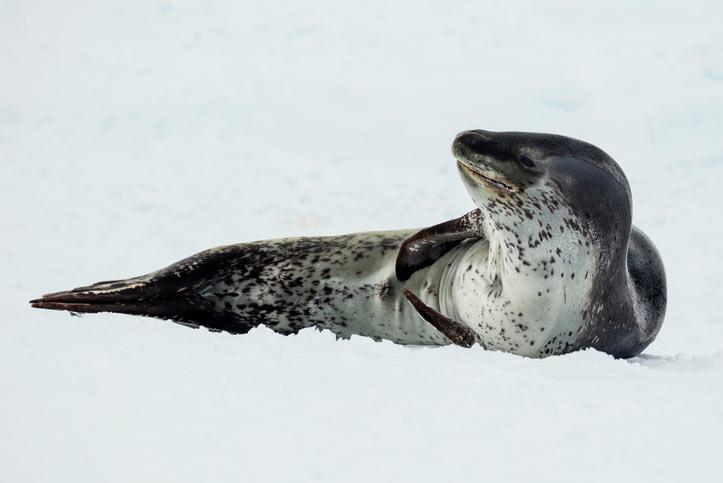 На настоящее время численность популяции морских леопардов составляет примерно 400 тысяч животных.