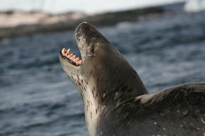 Морской леопард обитает по всему периметру льдов Антарктики.
