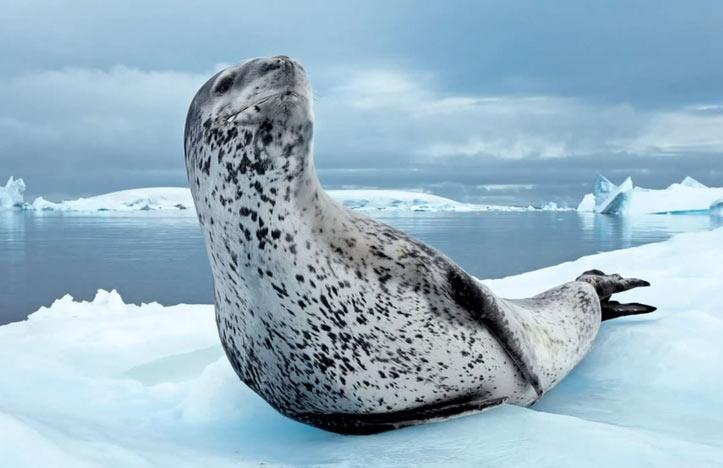 Морской леопард — хищное млекопитающее, относящееся к семейству настоящих тюленей.