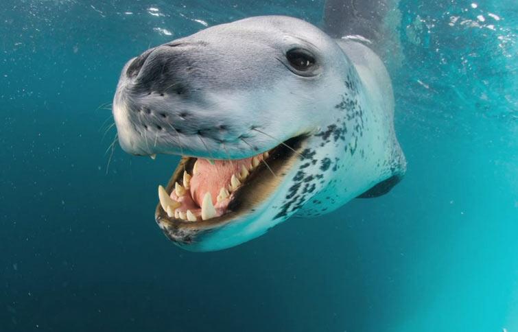 Морской леопард считается самым свирепым хищником в антарктических широтах.