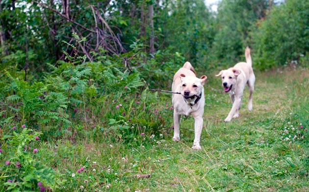 Лабрадоров можно считать умными, ласковыми и активными собаками