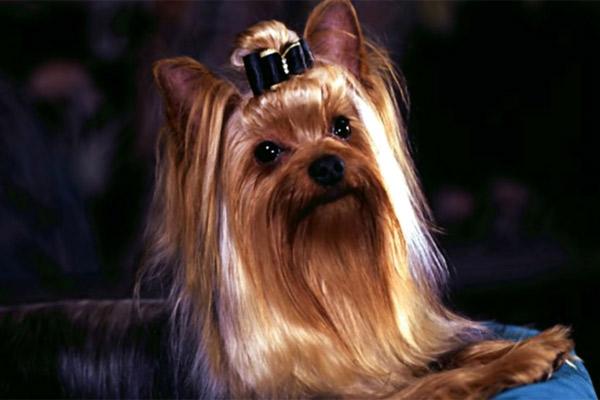Породы собак: Йоркширский терьер