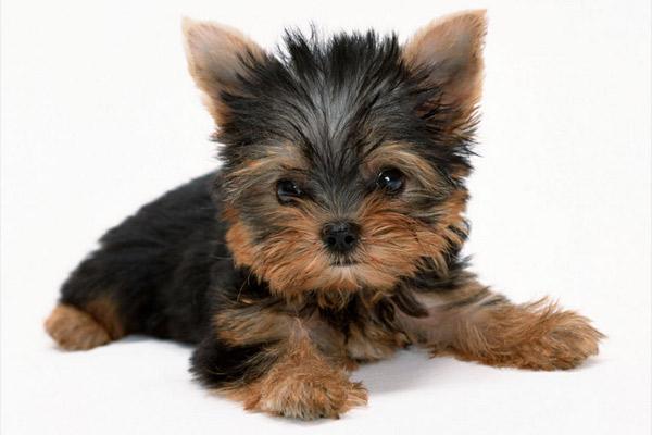 собаки фото порода йоркширский терьер