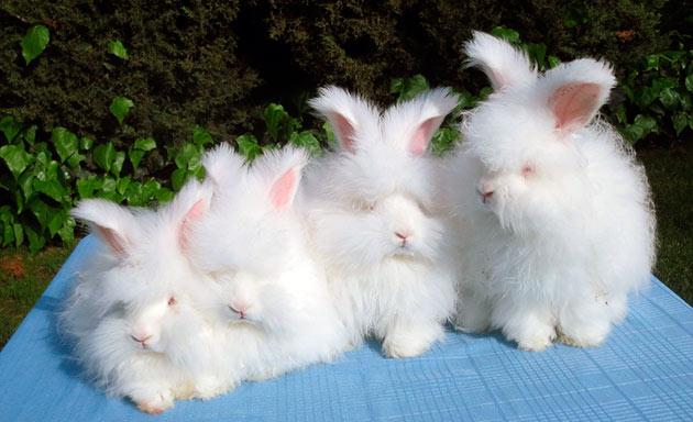 Рекомендуемый возраст приобретения ангорского кролика 2-2.5 месяца