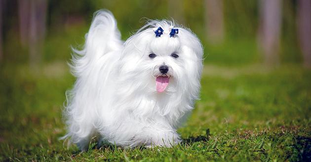 Мальтезе считается долгожителем среди собак и способна доживать до 18 лет