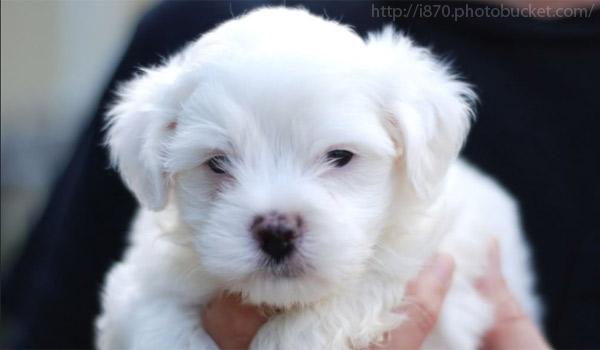 Породы собак: Мальтийская болонка (Мальтезе) — описание, уход, питание