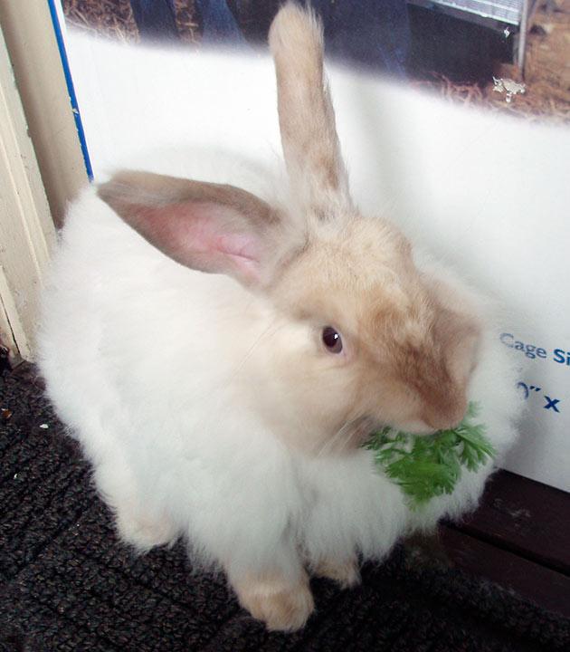 Ангорским кролика рекомендуют давать зеленые и сочные корма