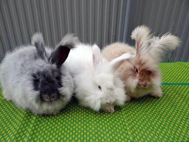 Пород ангорских кроликов достаточно много, в основном они различаются по цвету, объему шерсти