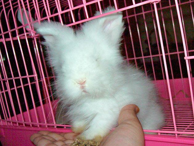 Ангорских кроликов в основном разводят для получения пуха и мяса