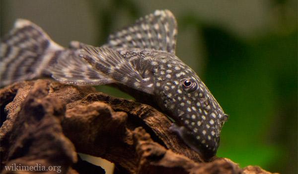 Аквариумные рыбкы Анциструсы — описание, содержание, размножение